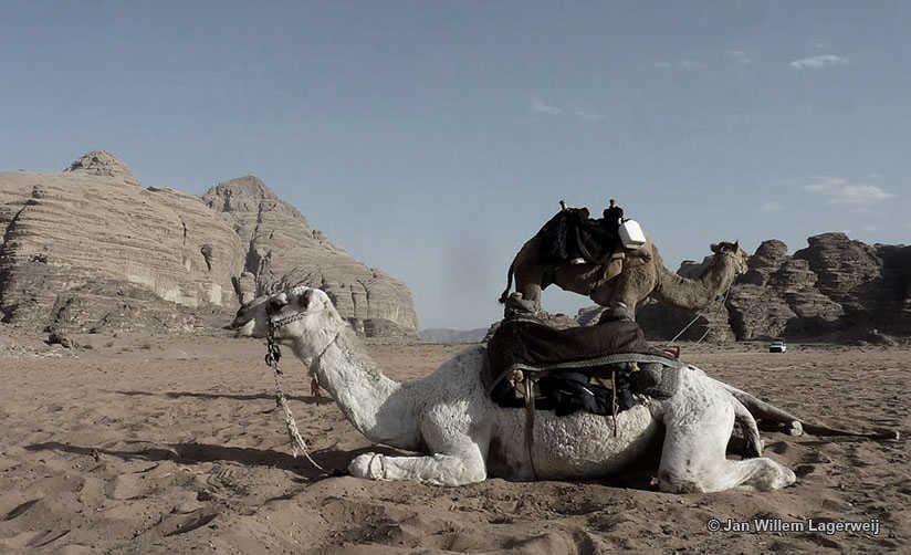 Camels-_mic
